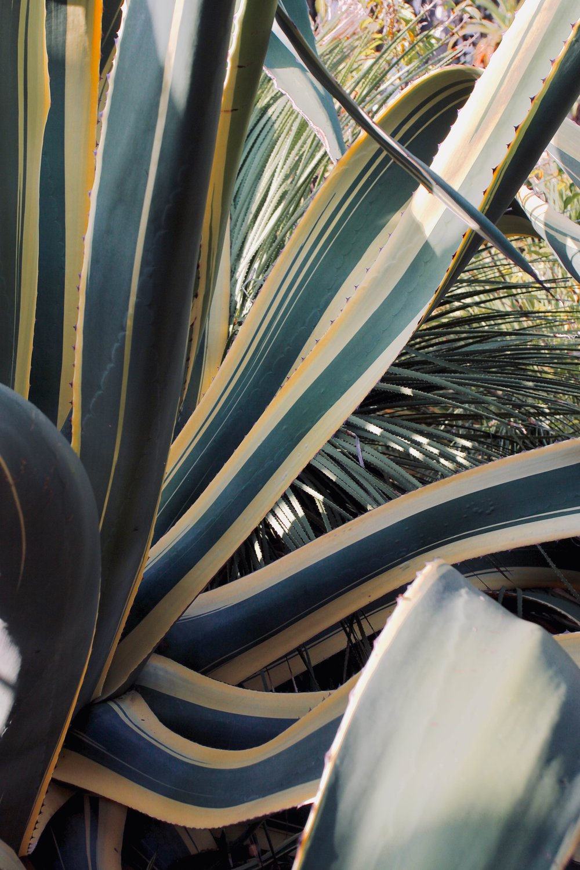 Lisbon cactus close up.jpg