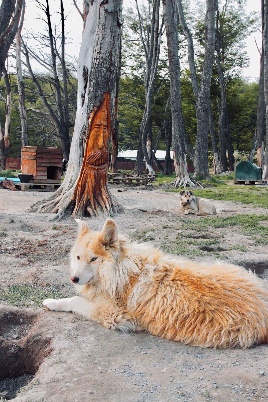 Husky at Siberianos de Fuego, Ushuaia Argentina