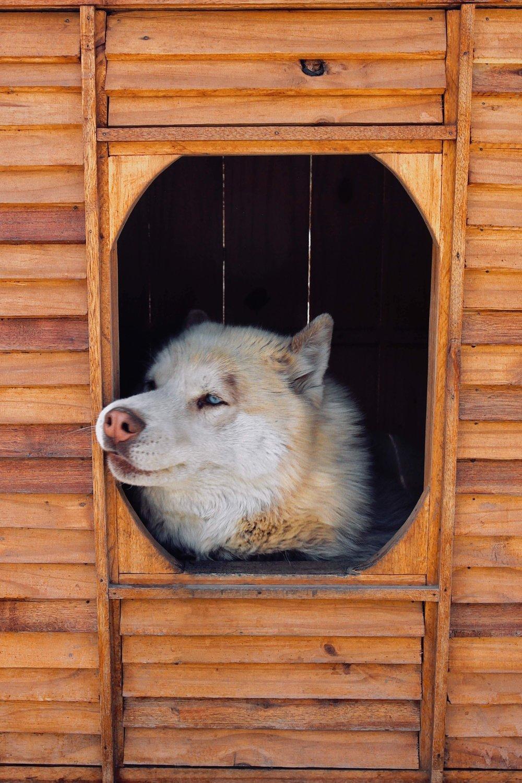 Siberian husky in kennel.jpg