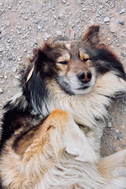 Siberian husky 1.jpg