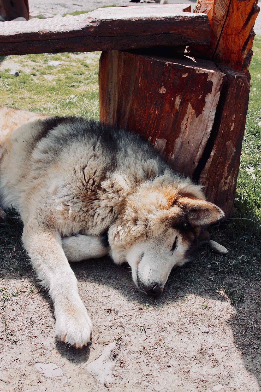 Siberian husky 2.jpg