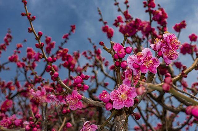 The herald of the plum has passed, next will be the cherry. 梅が咲終わった。次は桜やな。  #梅の花 #梅満開 #天神さん #うめ #コンパクトカメラ #冬の花 #桜より梅 #東京生活 #写真撮っている人と繋がりたい #写真好きです #写真家 #フラッシュ #写真を撮る #ume #plumblossom #compactcamera #tokyolife #tenjin #norskefotografer #norskefototalenter #norgesfotografer #rx100mk4 #カラフル