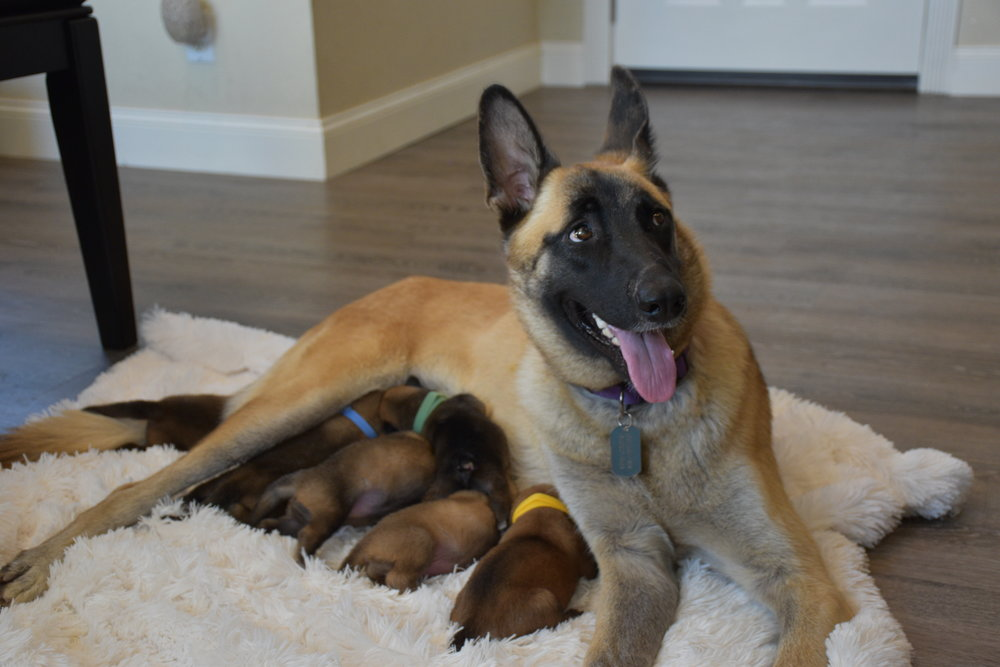 Bonnie and Puppies Malinois