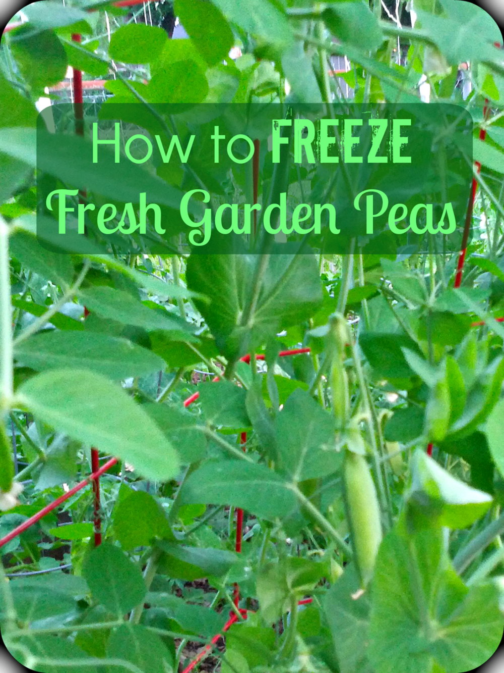 The rain let up just long enough this week for me to rush to the garden and pick all the shell peas. While snap peas have edible pods, shell peas take ...