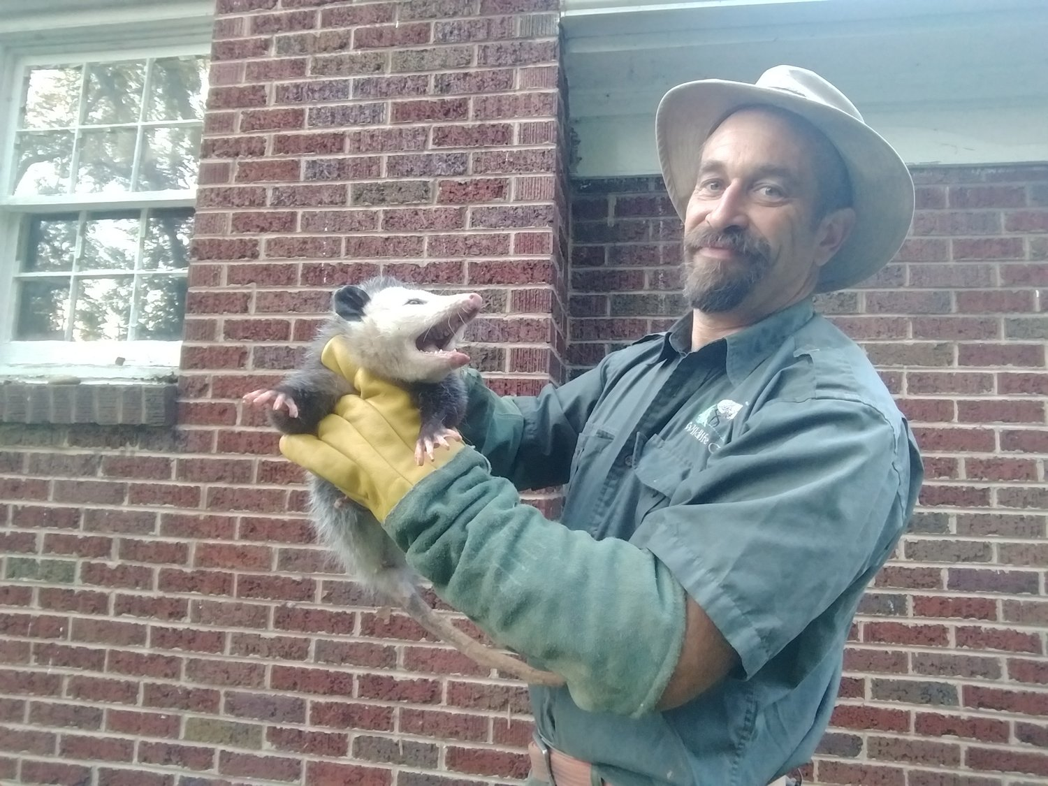 Kingsport Opossum Looks Back Out of Air Duct - a Confusing Wildlife