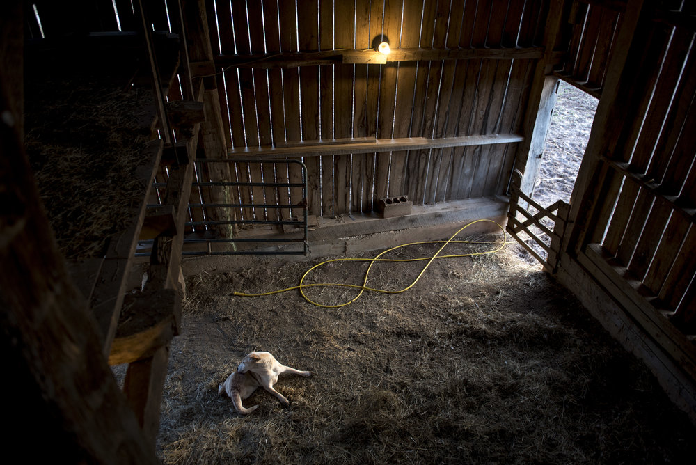 A dog cleans itself in a barn originally built in the 1860's on an afternoon in January. Agriculture brought people to the area--the first white settler in Shade was Joseph Thompson, who built a gristmill in 1815. While agriculture used to be the main occupation and use of the land in Shade, today the only agricultural crops grown in Shade are hay and corn.