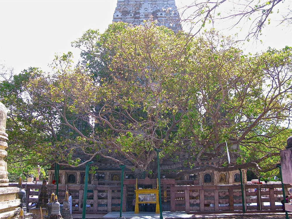 The bodhi tree at Bodh Gaya- a sanctuary that attracts pilgrims from all over the world- is a descendant of the tree under which Buddha attained enlightenment.