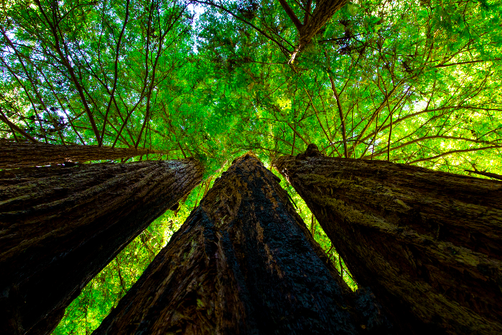 Banner Image_Old Growth Trees.png