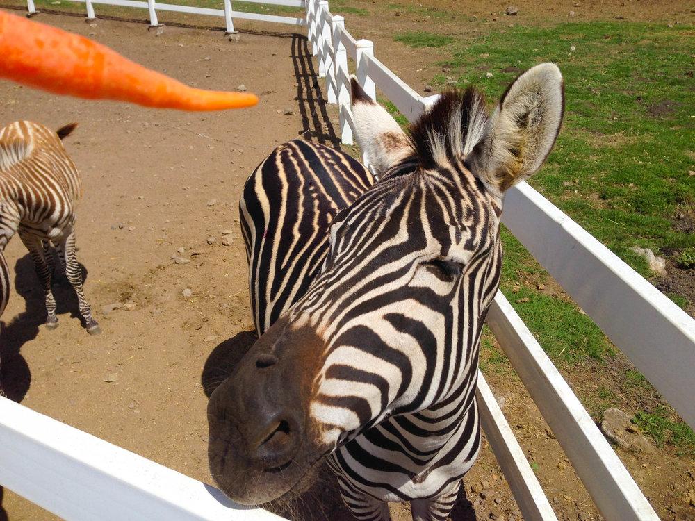Malibu Wine Safari - Feeding a Zebra
