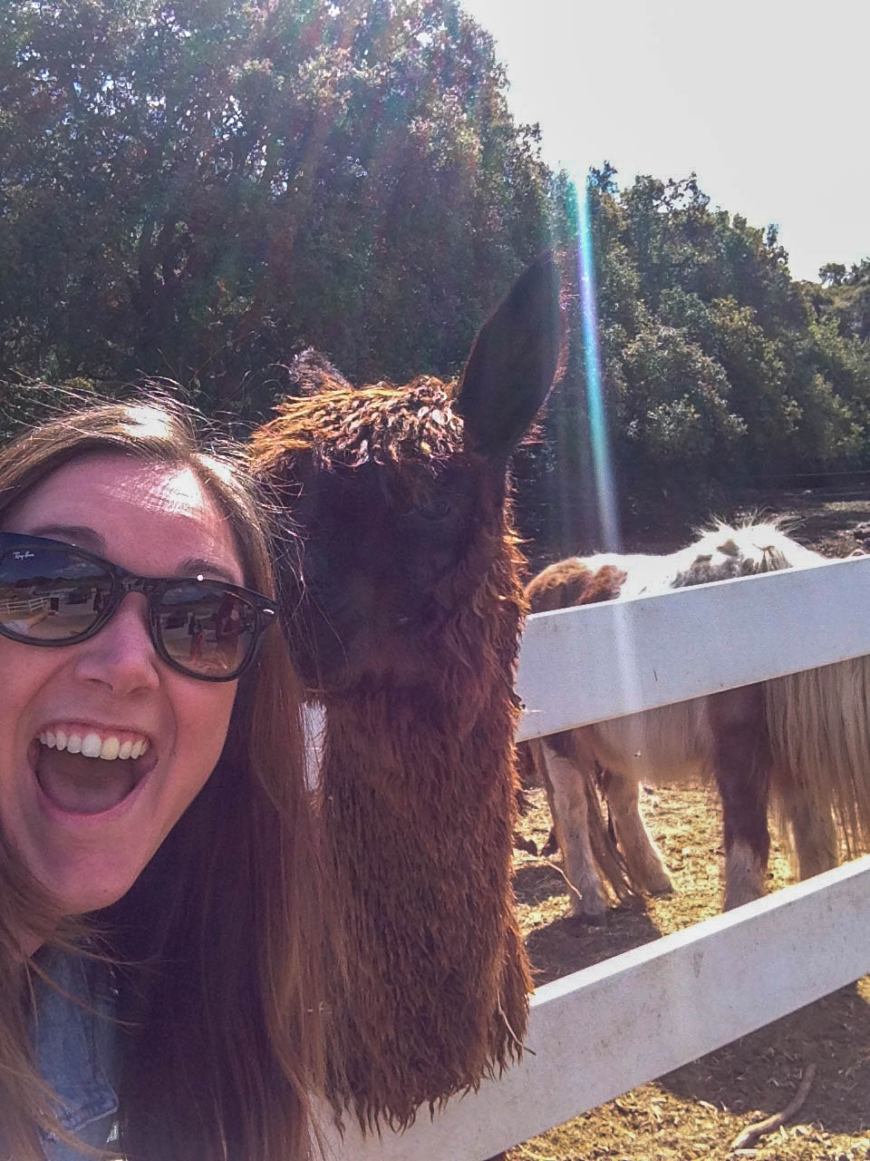 Malibu Wine Safari - Feeding the Llamas and Alpacas