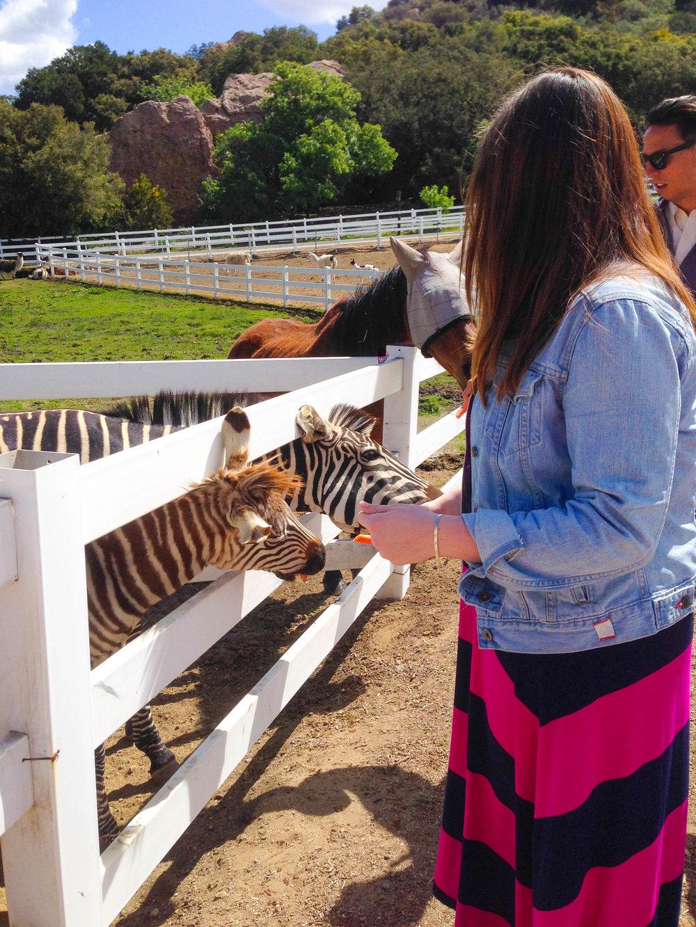 Malibu Wine Safari - Feeding the Zebras