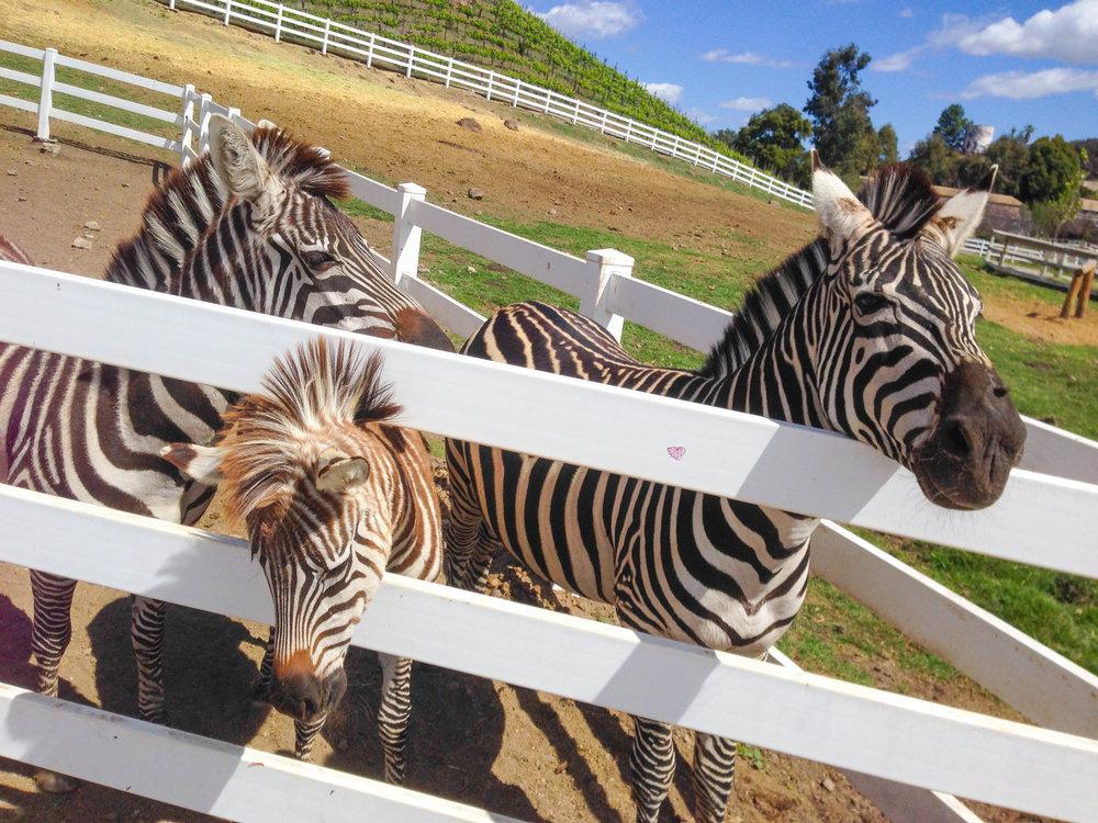 Malibu Wine Safari - Zebras