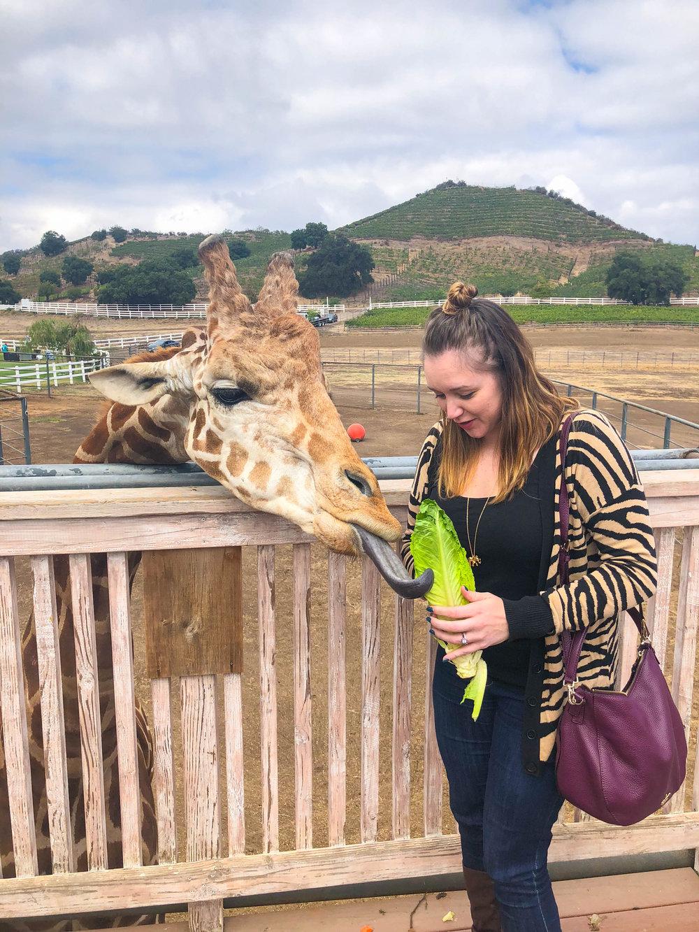Malibu Wine Safari - Feeding Stanley the Giraffe - Wine Tasting