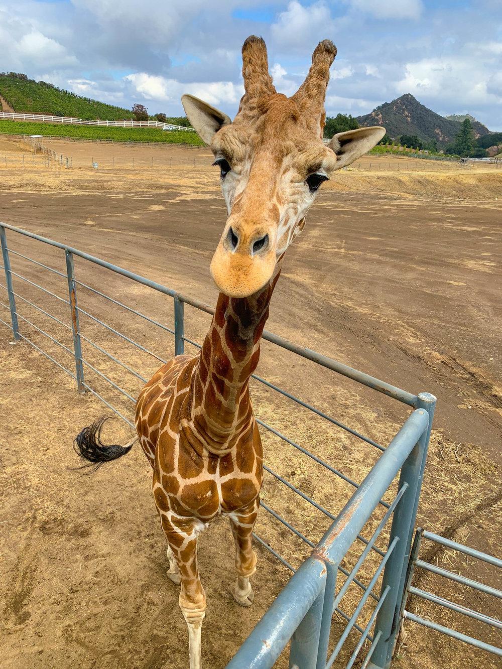 Malibu Wine Safari - Stanley the giraffe