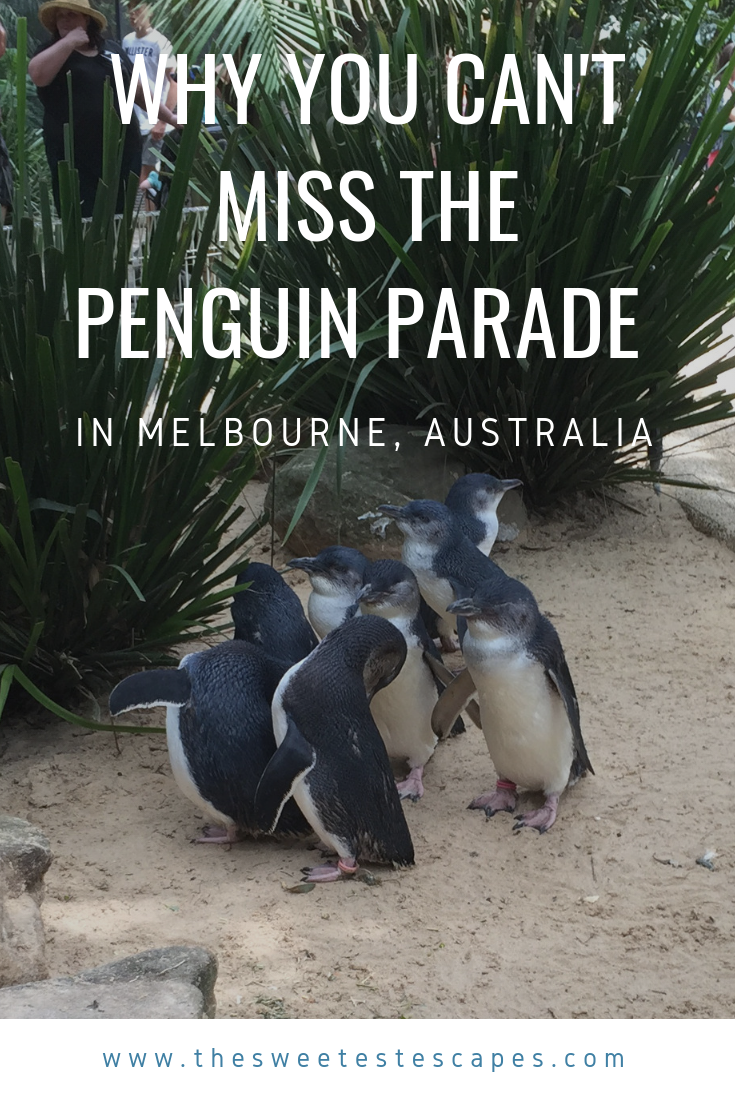 Why you must see the Little Fairy Penguin Parade in Melbourne, Australia