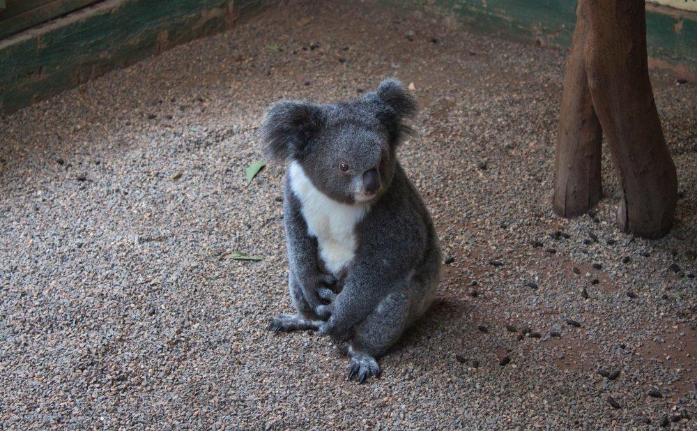 Featherdale Wildlife Park - Sydney, Australia Koala