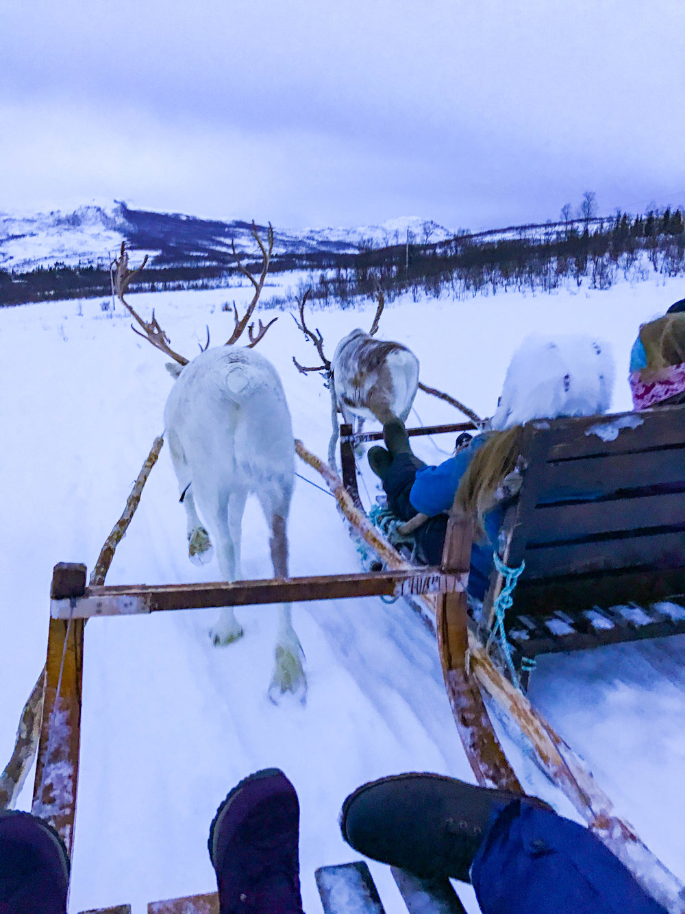 Reindeer_rides_Norway.jpg
