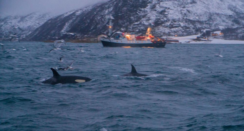 Norway_Killer_Whales.jpg
