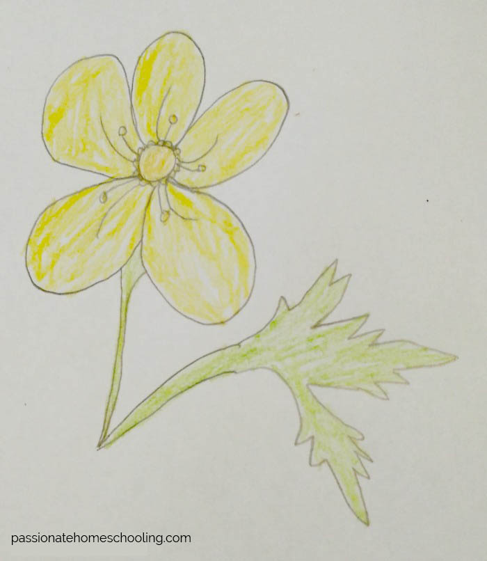 Drawing of a yellow buttercup flower