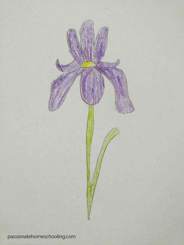 Drawing of a Iris flower