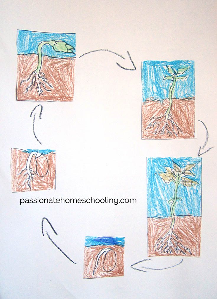 Plant Life Cycle Online Science