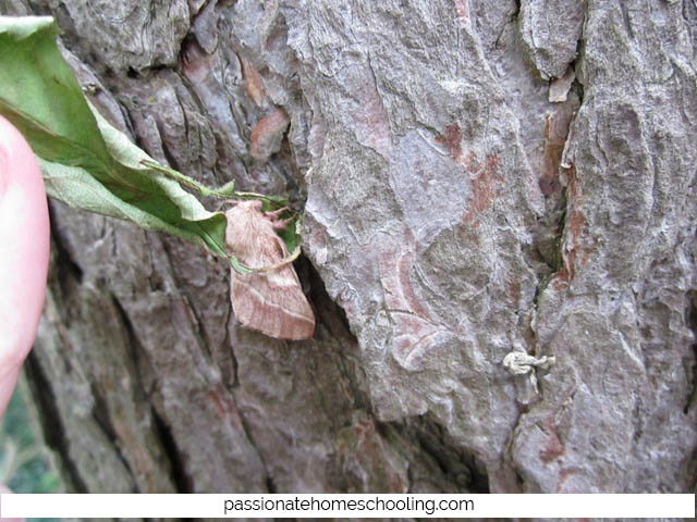 Lappet Moth On A Tree