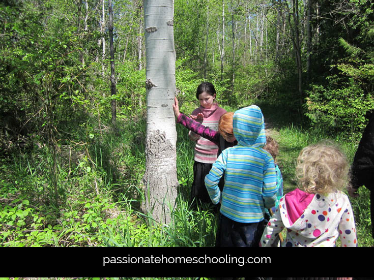 Nature Study Poplar Trees