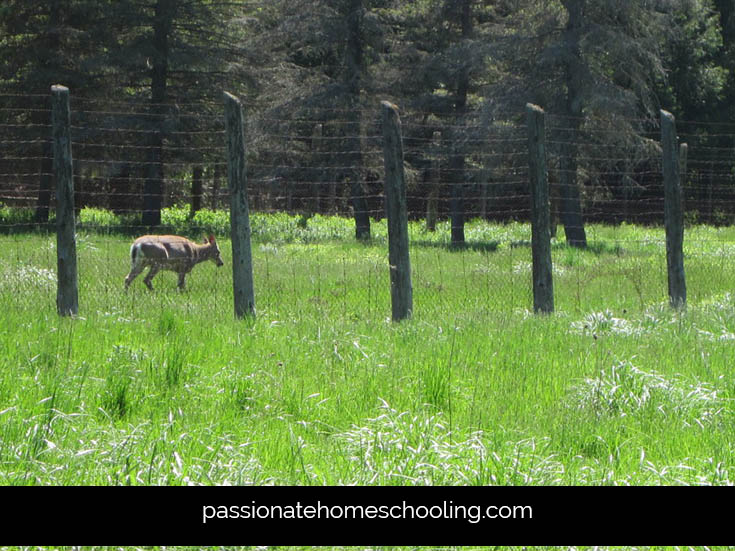 Deer On A Nature Walk