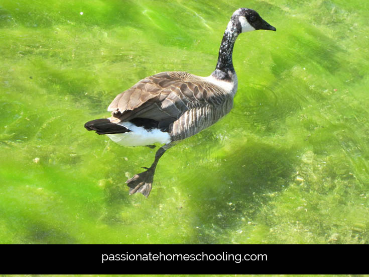 Canada Goose Close Up
