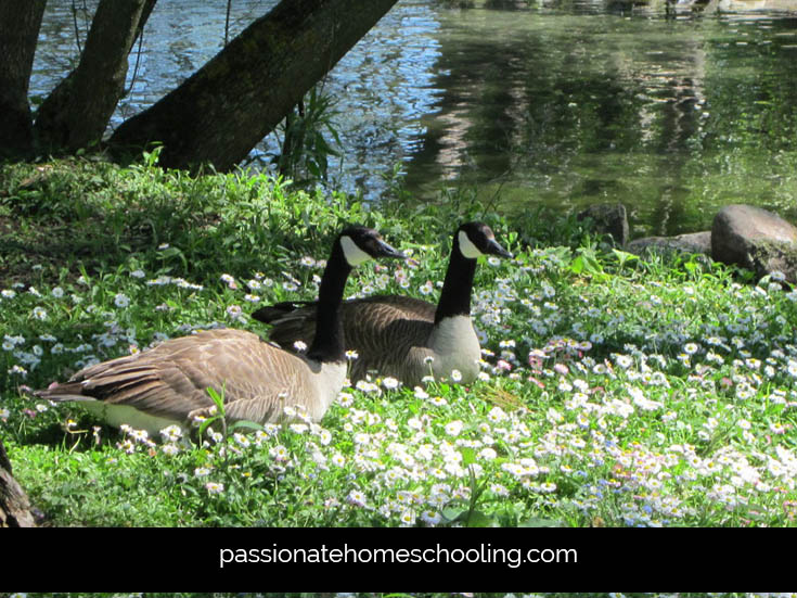 Canada Geese Sitting In Flowers