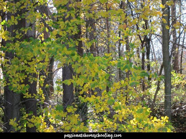 Box Elm Maples Turning Yellow