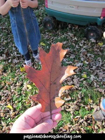 Oak Leaf In The Fall