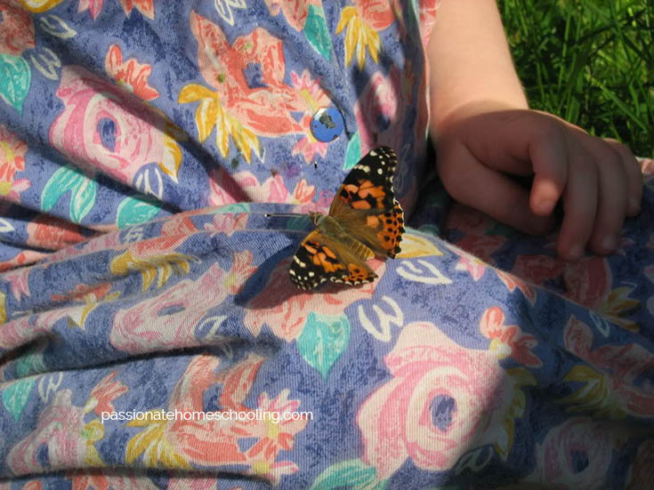 Raising Some Painted Lady Butterflies