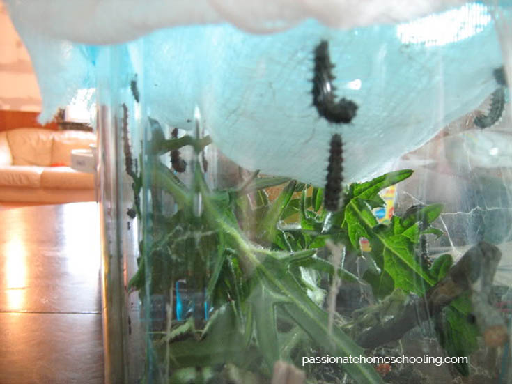 Painted Lady Caterpillars Making A Cocoon