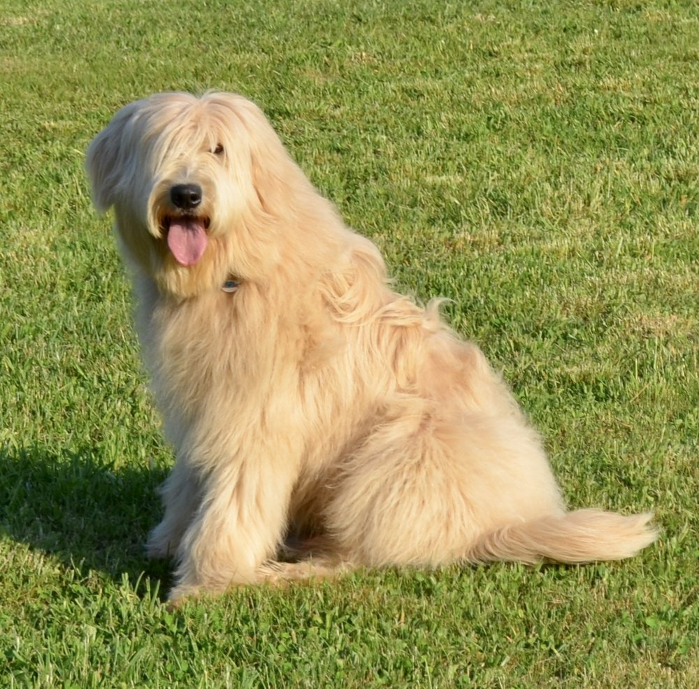 KRISTOFF - GANA F1 ENGLISH CREAM GOLDENDOODLE