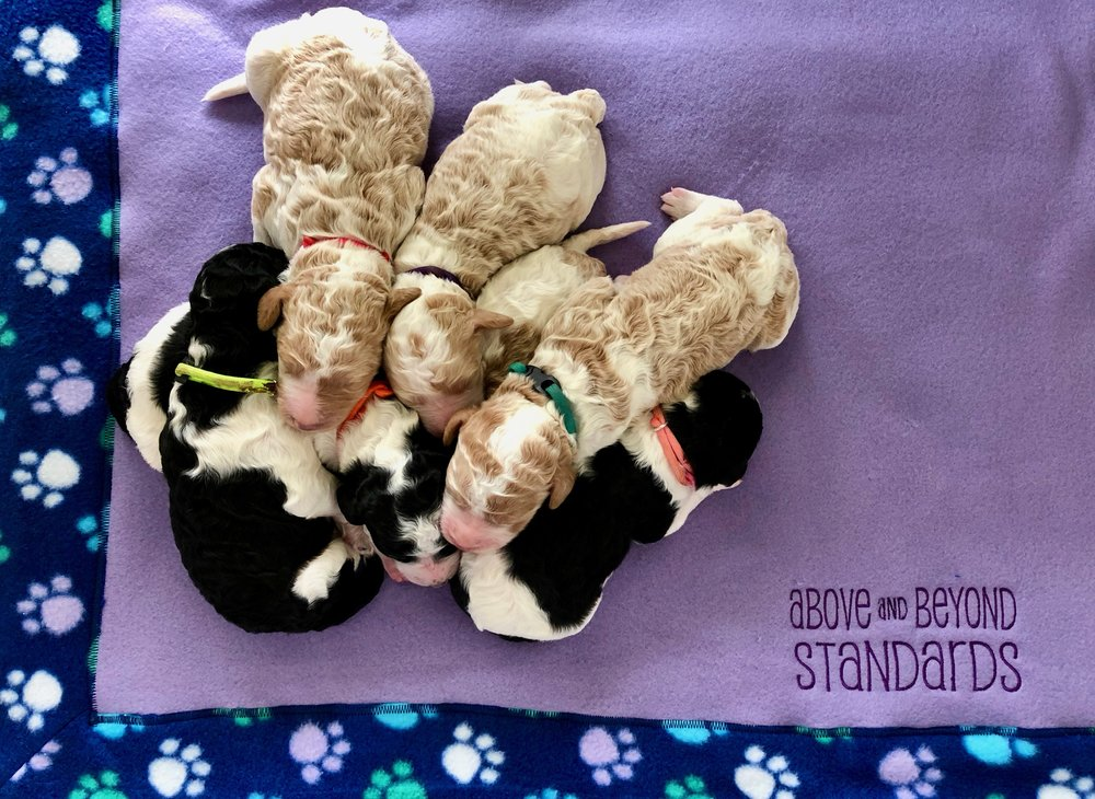 we have a litter of f1b english goldendoodles coming up!!