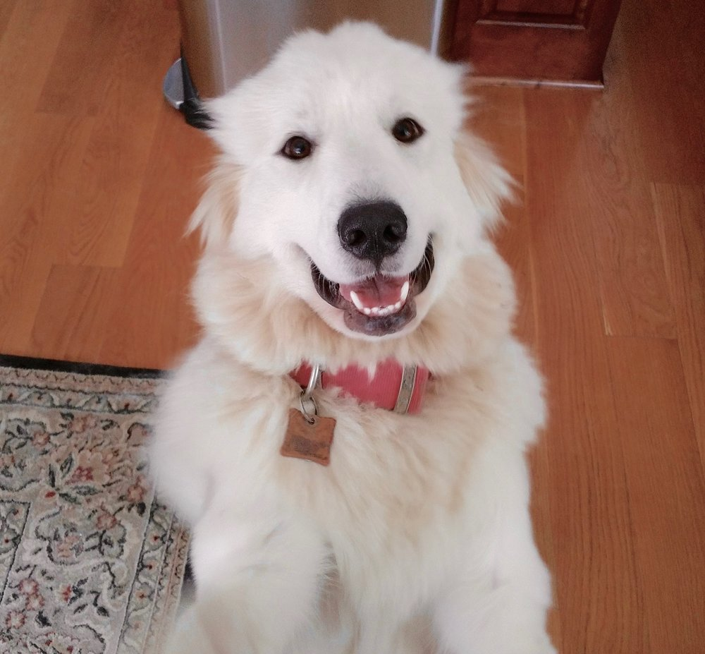 AVALANCHE - AKC GREAT PYRENEES