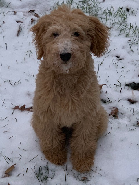 F1B English Golden Goldendoodle Puppy by Above and Beyond Standards