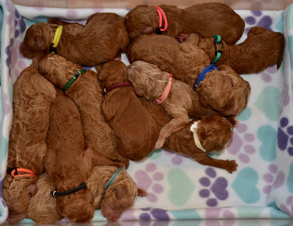 Litter Photo (11 Puppies)