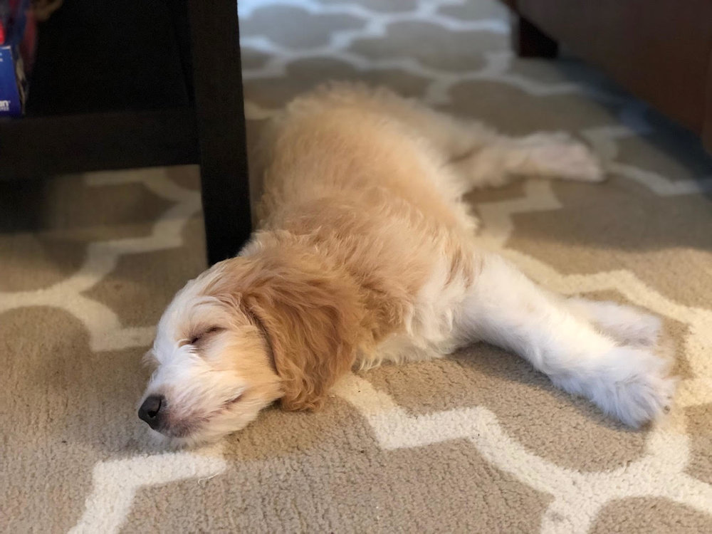F1B English Red & White Parti Goldendoodle Puppy by Above and Beyond Standards