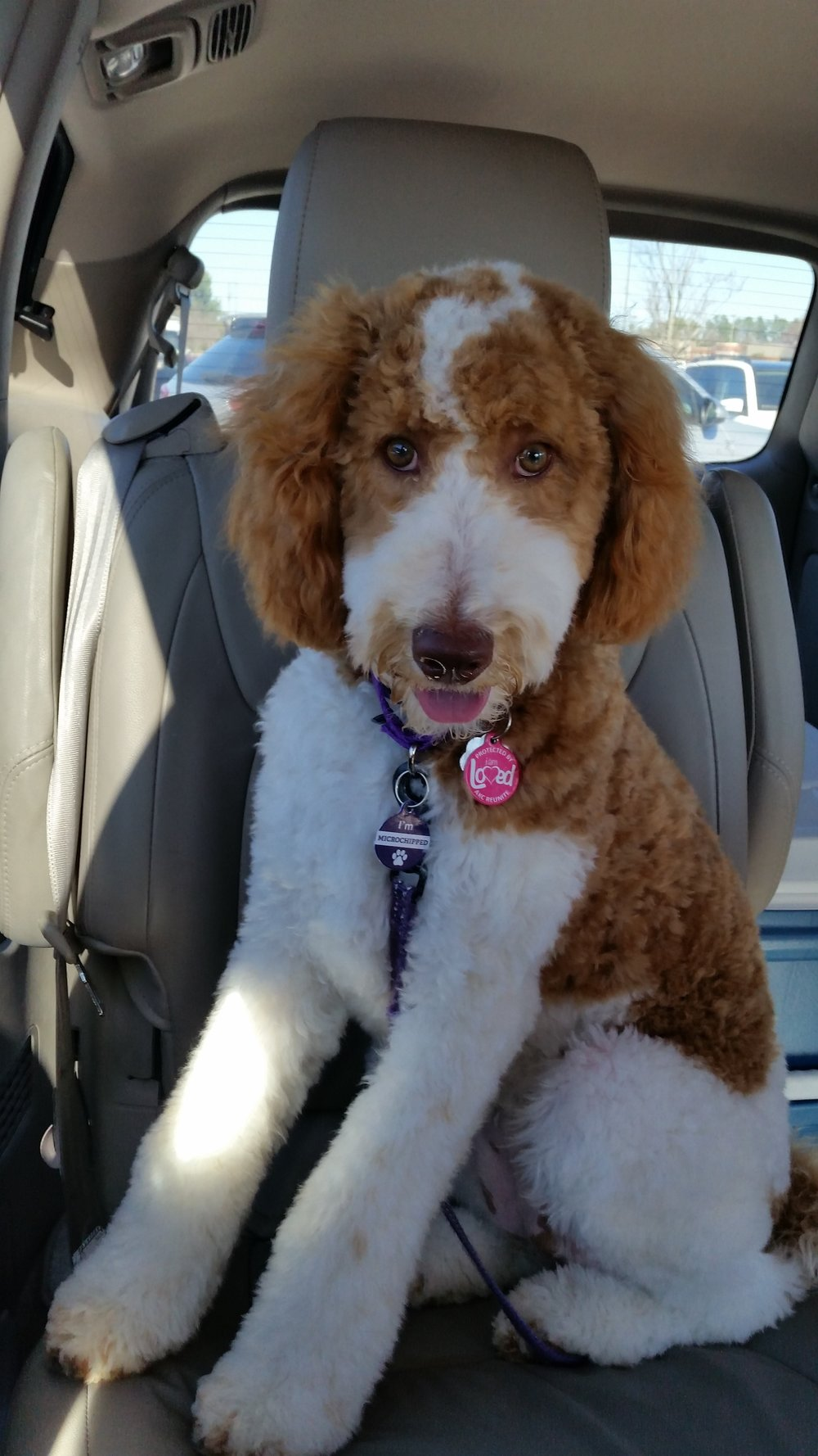 AKC Red & White Parti Standard Poodle Puppy by Above and Beyond Standards