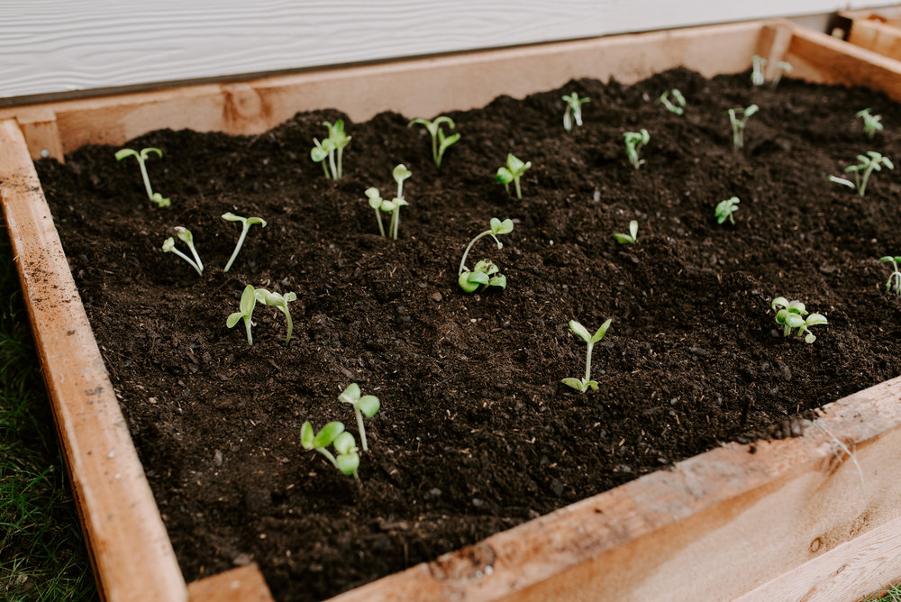 I started the seeds in a little germination kit and transferred them into the beds when they were this size! This season, we're starting with Zuchinni and Cucumber… Cauliflower is coming soon, but they were a bit behind, so we'll see how they do.