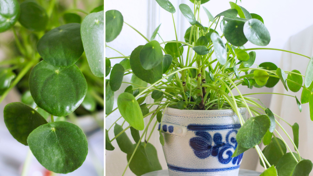 Pilea Peperomioides.png