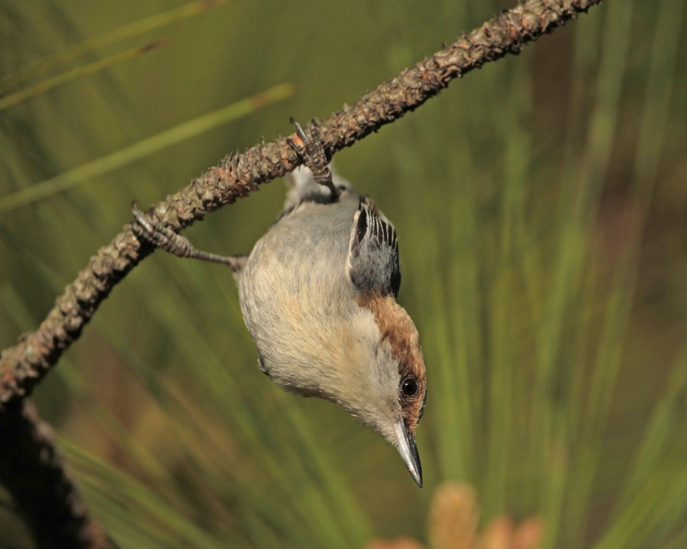 Brown-headed Nuthatch by Matt Tillett