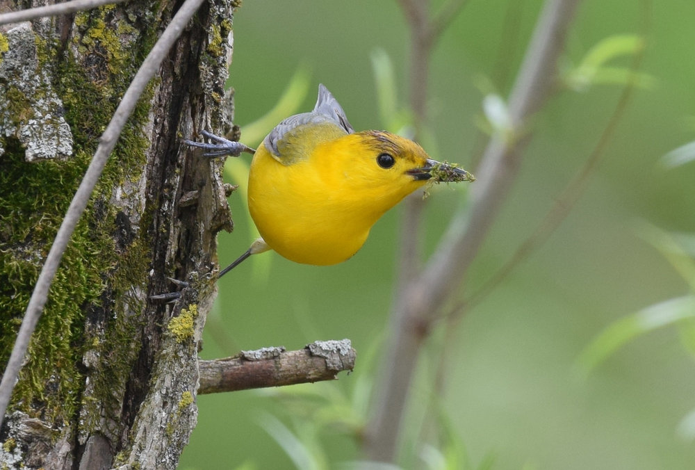 Prothonotary Warbler by Andy Reago & Chrissy McClarren