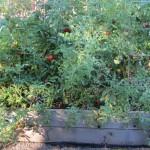 tomato bush