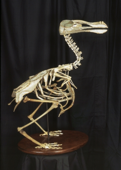 """Christy Rupp,  Life-size Dodo bird from the series: Extinct Birds Previously Consumed by Humans , 2008. Constructed from Fast Food Chicken Bones & Mixed Media, 33x16x29"""", Collection of Josh Recknitz."""