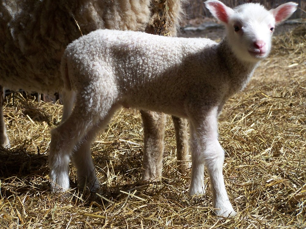 Lambs For Sale -