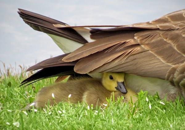 goose_sheltered_under_mothers_wing.jpg