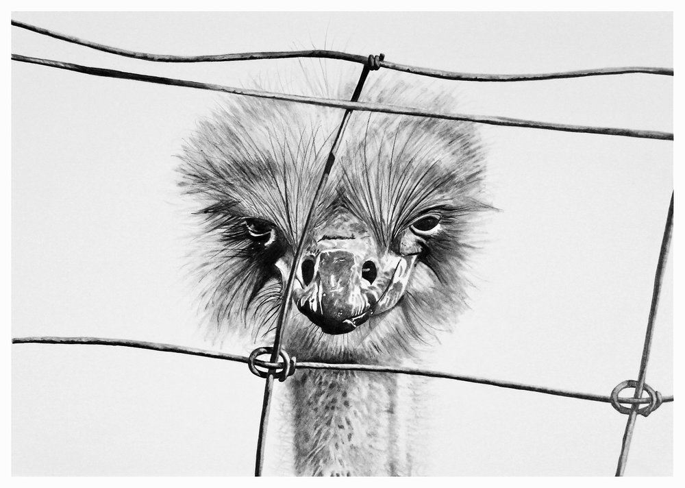 - 'Hello Ostrich'A3 size paper in A2 size frameGraphite on paper, framed & ready to hang.$395ENQUIRE